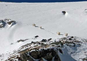 clinton peak mountain goats